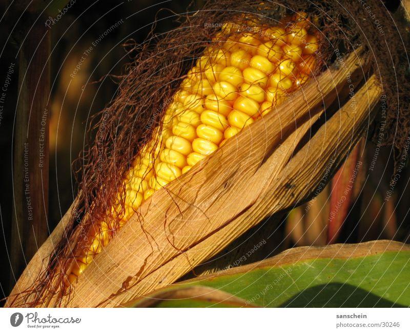 mais Maiskolben Herbst Abendsonne gelb Landwirtschaft Futter zuckermais kukuruz Sonne Ernte gold