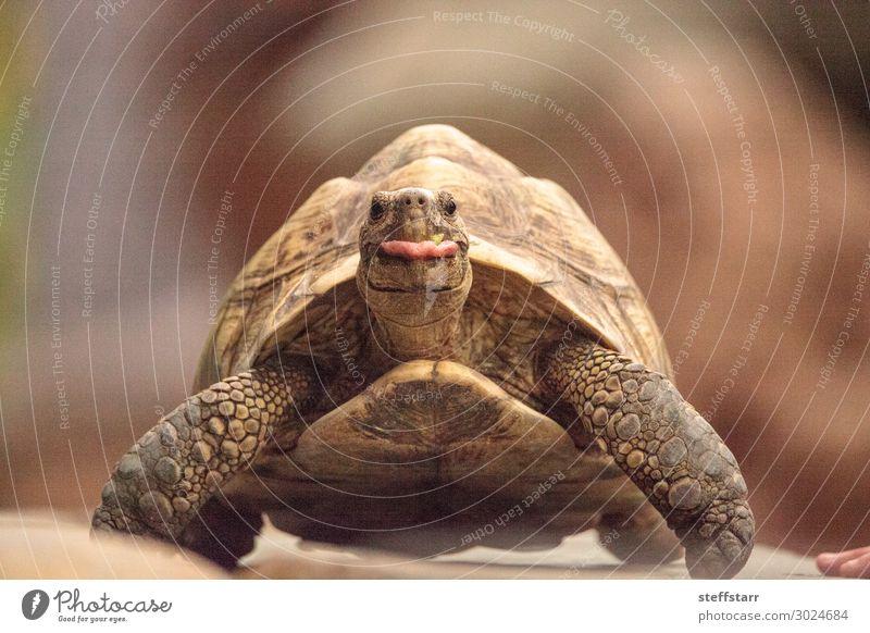 Lustige indische Sternenschildkröte Geochelone elegans Natur Tier Haustier Wildtier Tiergesicht 1 lustig braun ausspannen Humor Landschildkröte
