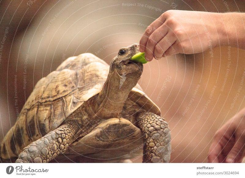 Die indische Sternenschildkröte Geochelone elegans ist eine bedrohte Art. Essen Natur Tier Haustier Wildtier Tiergesicht 1 füttern braun Landschildkröte