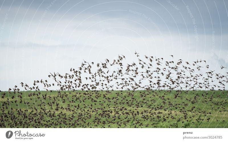 Stare aufsteigend Umwelt Natur Landschaft Pflanze Himmel Wolken Sommer Feld Tier Wildtier Vogel Schwarm blau grün viele fliegend schön Farbfoto Außenaufnahme