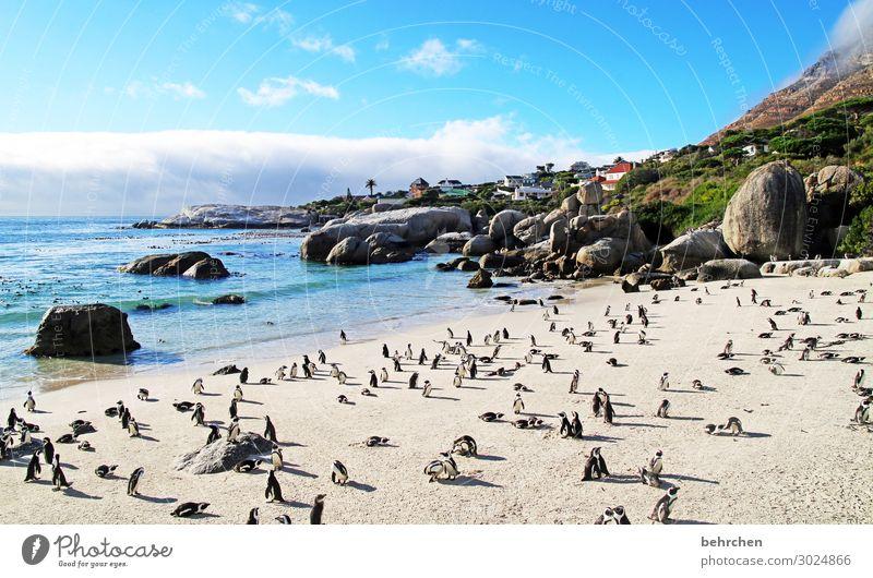 ordnung im chaos | strandmeeting boulders beach Tierporträt genießen Natur Wasser Sehnsucht Felsen besonders träumen Sonnenaufgang Morgendämmerung Menschenleer