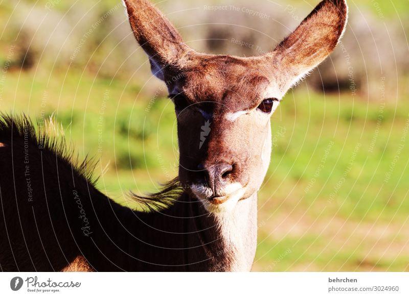 weiblicher wunderschöner kudu Südafrika addo Safari Tier Wildtier Ferien & Urlaub & Reisen Tierporträt Abenteuer Tourismus Natur Freiheit Tiergesicht Ferne