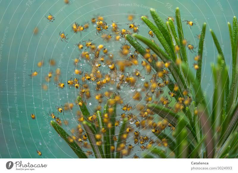 Spinnen Nachwuchs Natur Pflanze Wassertropfen Sommer Blatt Rosmarin Garten Garten Kreuzspinne Spinnenbabys Tiergruppe Bewegung krabbeln klein nass niedlich gelb