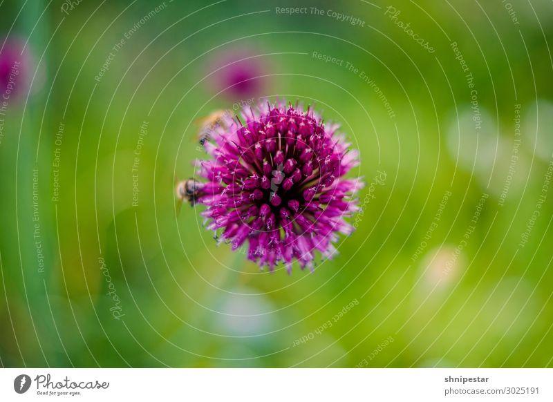 Artenvielfalt Umwelt Natur Landschaft Pflanze Tier Urelemente Erde Klima Klimawandel Wetter Allium sphaerocephalon Lauch Kugellauch Biene Insekt 2 Blühend