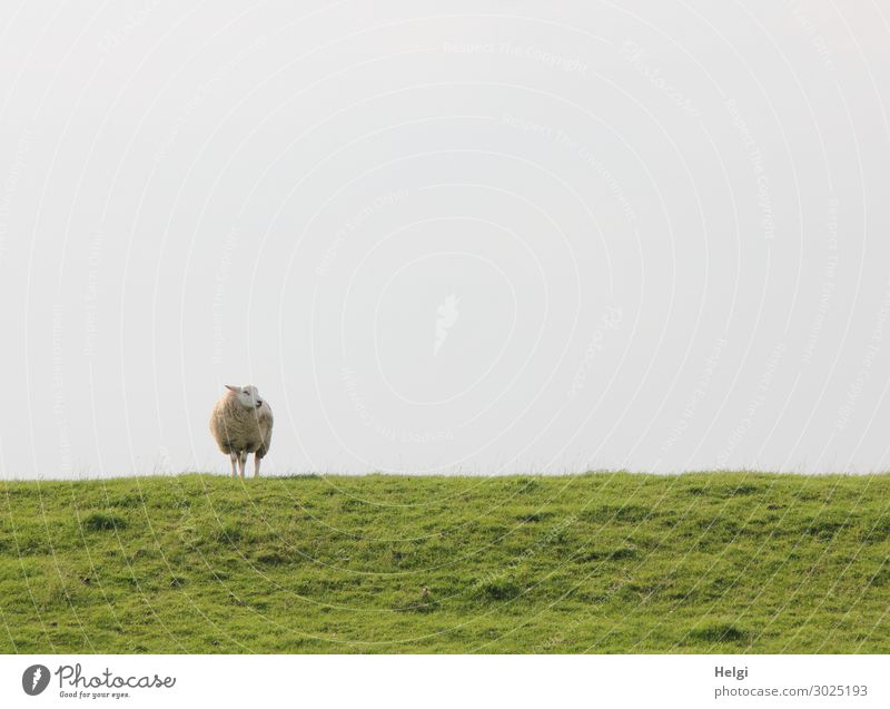 ein einsames Schaf steht bei schönem Wetter auf dem Deich und schaut zur Seite Umwelt Natur Landschaft Pflanze Tier Himmel Sommer Gras Grünpflanze Wiese