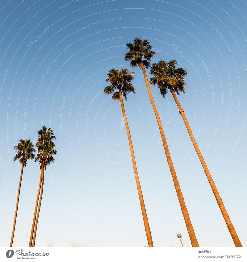palmen Sonnenaufgang Sonnenuntergang Schönes Wetter Pflanze Baum Ferien & Urlaub & Reisen Palme Blauer Himmel San Diego Kalifornien Strand Erholung Farbfoto