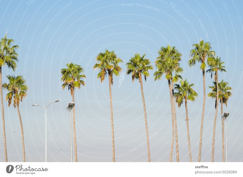 palmenreihe Pflanze Baum heiß Palme königspalme Laterne Sonnenuntergang Allee San Diego Kalifornien Ferien & Urlaub & Reisen Strand Paradies hoch Farbfoto