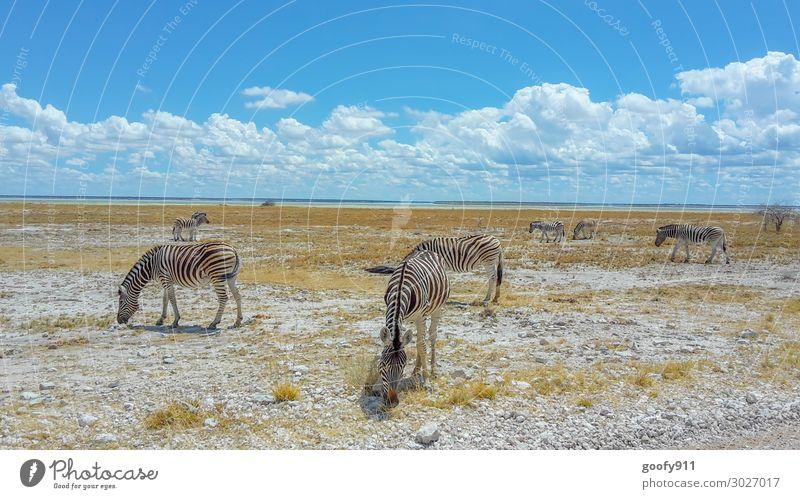 Zebraherde im Etosha NP Namibia Himmel Ferien & Urlaub & Reisen Natur Landschaft Wolken Tier Ferne Wärme Umwelt Tourismus Freiheit Ausflug Erde Wildtier