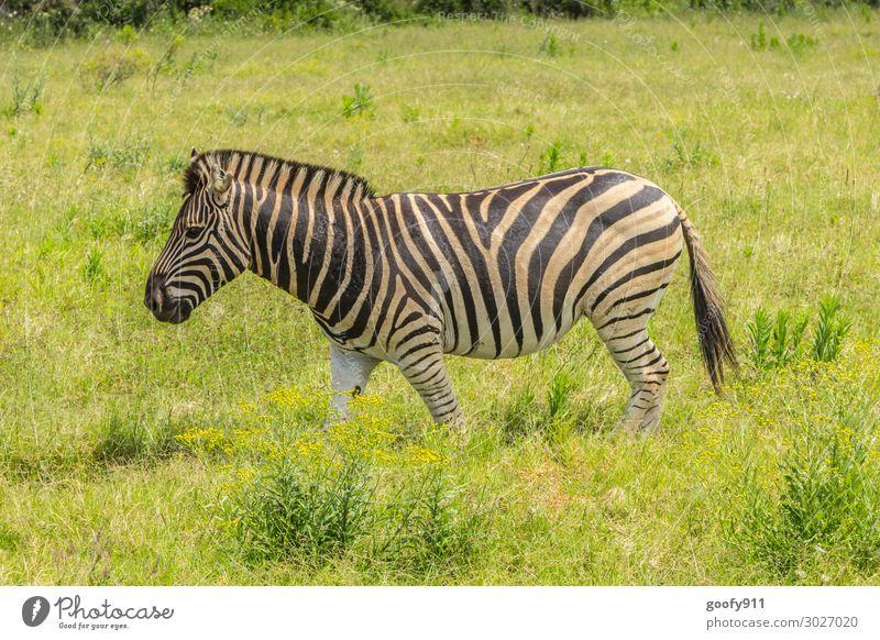 Im Grünen Ferien & Urlaub & Reisen Tourismus Ausflug Abenteuer Ferne Freiheit Safari Expedition Umwelt Natur Wärme Dürre Pflanze Gras Südafrika Tier Wildtier