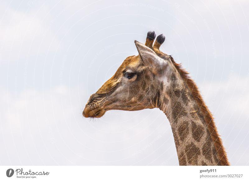 Giraffe Himmel Ferien & Urlaub & Reisen Tier Ferne Gesicht Auge Glück Tourismus Freiheit Ausflug Zufriedenheit Wildtier Abenteuer Mund beobachten Nase