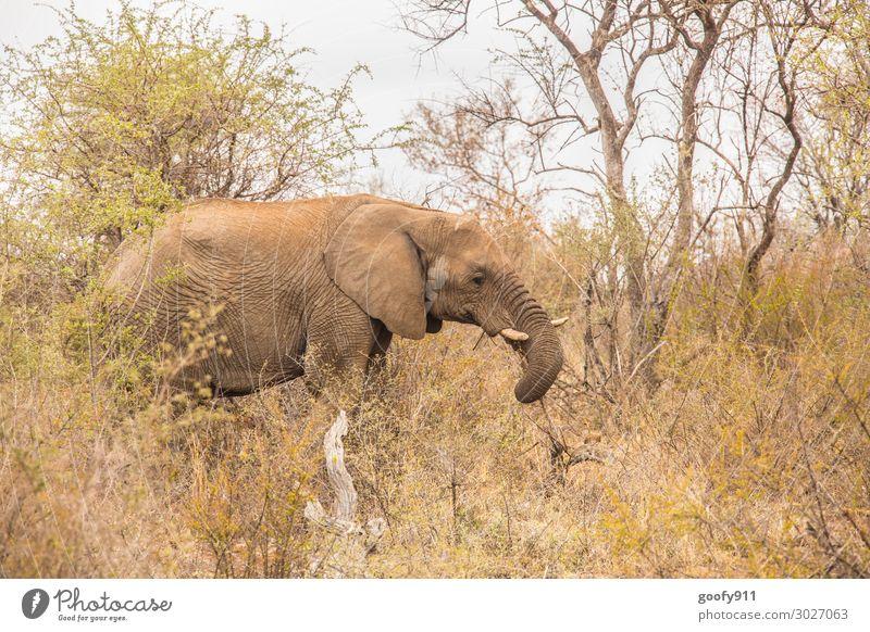 Einsamer Elefant Ferien & Urlaub & Reisen Tourismus Ausflug Abenteuer Ferne Freiheit Safari Expedition Umwelt Natur Landschaft Erde Sand Himmel Wärme Dürre