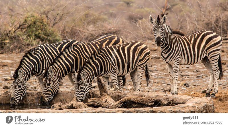 Erholungspause Ferien & Urlaub & Reisen Tourismus Ausflug Abenteuer Ferne Freiheit Safari Expedition Wärme Dürre Südafrika Tier Wildtier Zebra 4 Tiergruppe