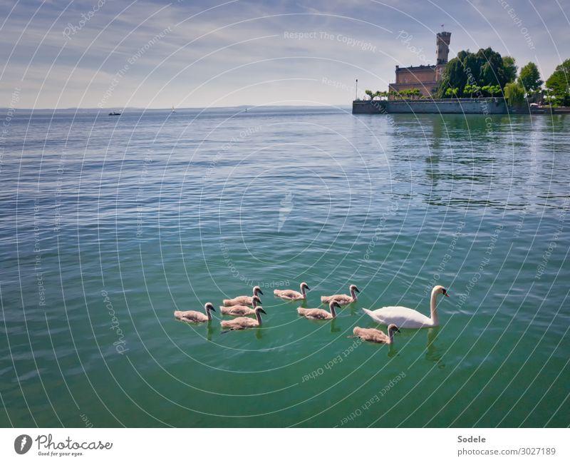 Schwanensee Ferne Sommer See Bodensee Burg oder Schloss Bauwerk Sehenswürdigkeit Schloss Montfort Wildtier Tiergruppe Tierfamilie Schwimmen & Baden authentisch