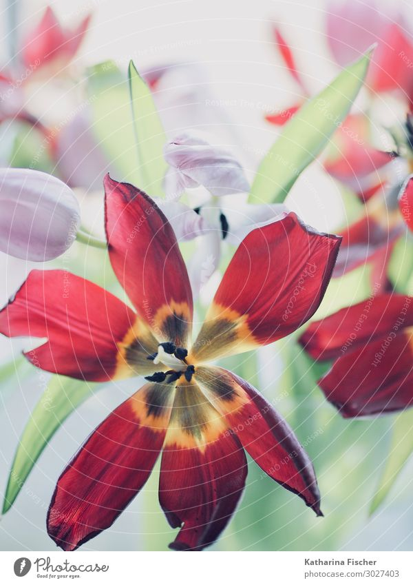 Rote Tulpe Natur Pflanze Frühling Sommer Herbst Winter Blume Blatt Blüte Blumenstrauß Blühend leuchten gelb violett orange rosa rot türkis weiß verblüht