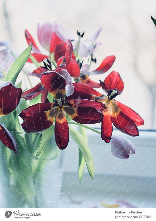 rote Tulpen Pflanze Blume Blatt Blüte Blumenstrauß Blühend leuchten verblüht gelb grün violett orange rosa weiß Tulpenblüte Tulpenknospe Vase Autofenster