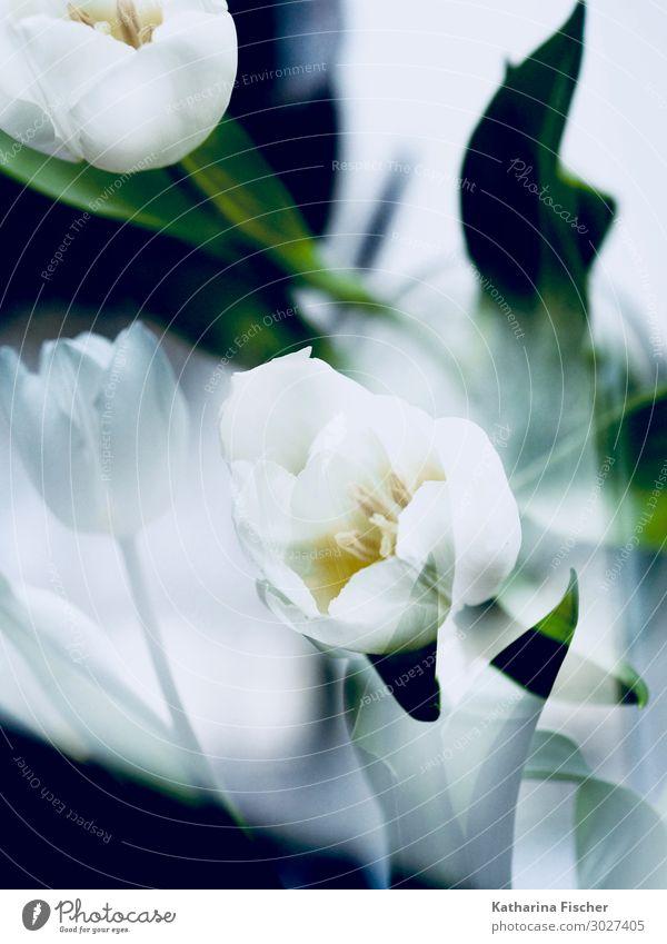 Doppelbelichtung weiße Tulpen Pflanze Frühling Sommer Herbst Winter Blatt Blüte Blumenstrauß Blühend leuchten gelb grün Tulpenblüte Tulpenknospe
