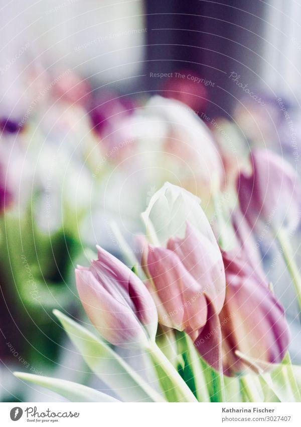 Tulpen Doppelbelichtung Natur Pflanze Frühling Sommer Herbst Winter Blume Blatt Blüte Blumenstrauß Blühend Duft gelb grün violett orange rosa rot türkis weiß