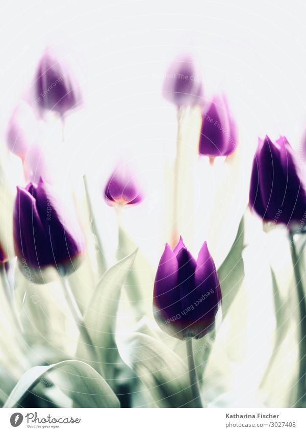 lila Tulpen Doppelbelichtung Natur Pflanze Frühling Sommer Herbst Winter Blume Blatt Blüte Blumenstrauß Blühend schön gelb grün violett weiß
