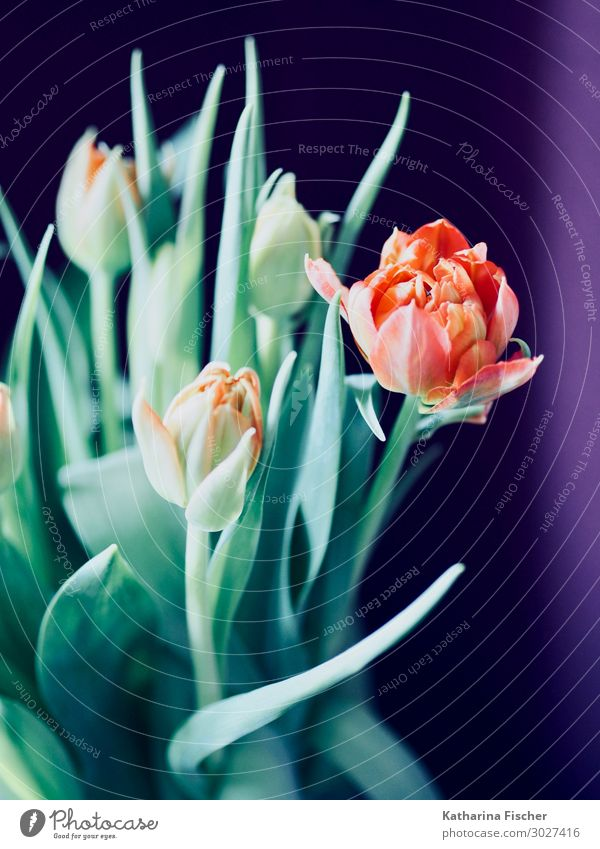 orange Tulpen Natur Pflanze Frühling Sommer Herbst Winter Blume Blatt Blüte Blumenstrauß Blühend leuchten gelb grün violett Dekoration & Verzierung Poster