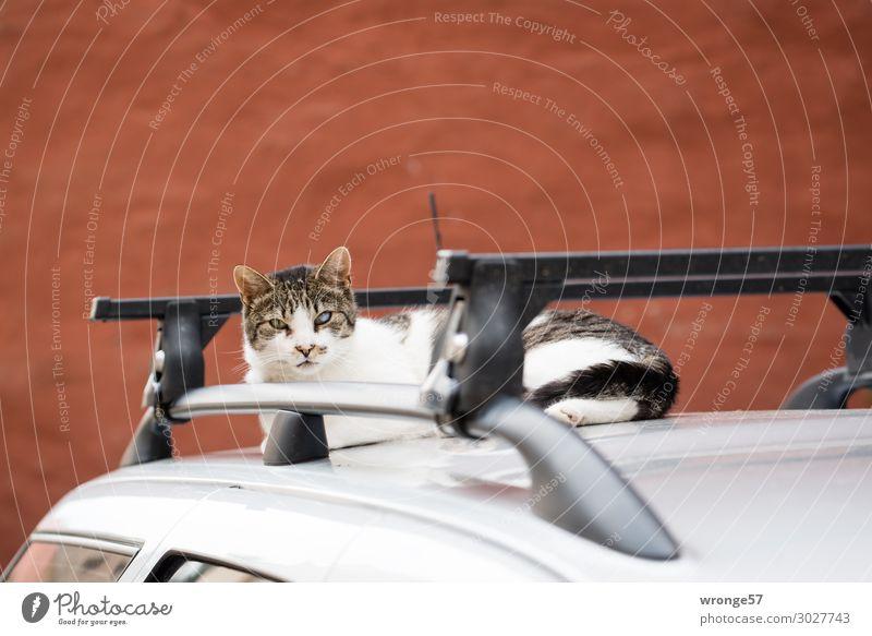 Aufmerksame Katze PKW Tier Haustier 1 beobachten Neugier braun grau schwarz silber Autodach ausruhend Wachsamkeit Hauskatze Schlafplatz Farbfoto Gedeckte Farben