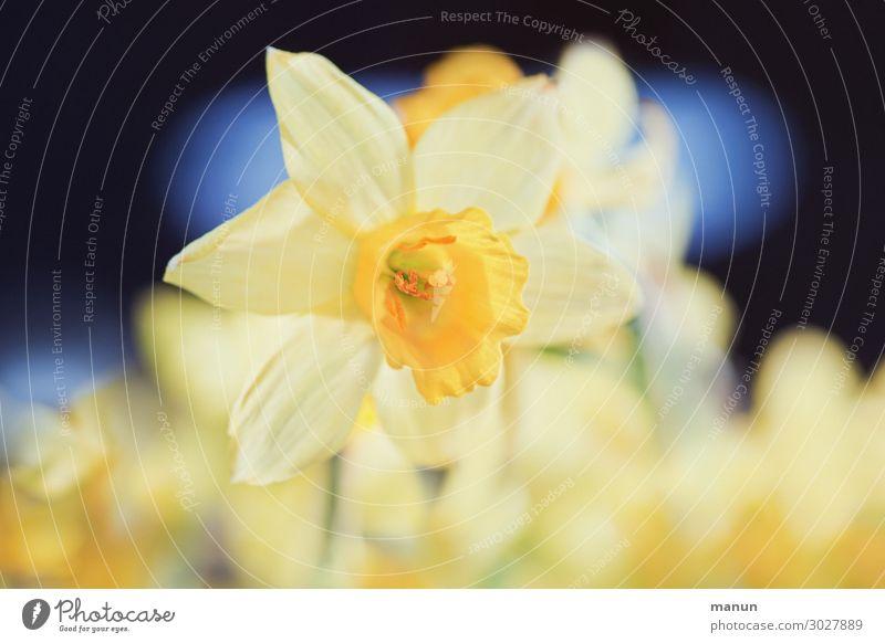 Frühlingsbote schön harmonisch Garten Ostern Natur Blume Blüte Gelbe Narzisse Narzissen Frühblüher Frühlingsblume Blühend Fröhlichkeit frisch natürlich blau