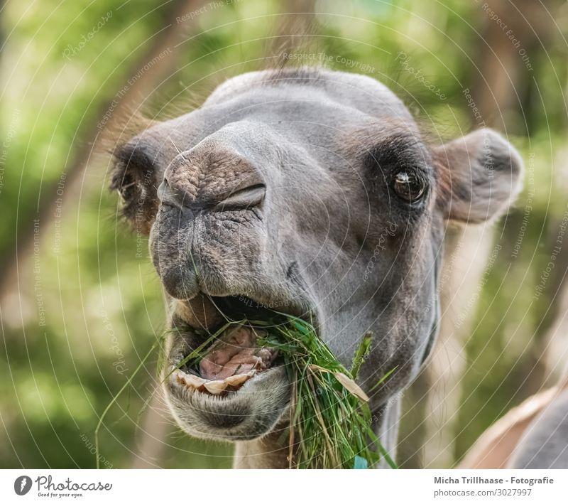 Fressendes Kamel Natur Tier Sonnenlicht Schönes Wetter Gras Grünpflanze Wildtier Tiergesicht Fell Auge Maul Gebiss Zunge Nase Ohr 1 genießen lustig nah