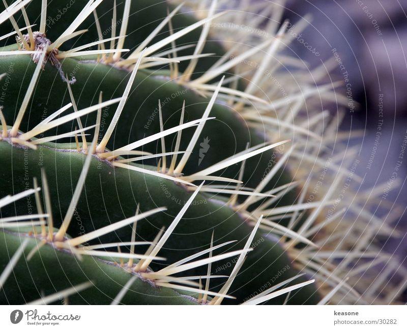 kaktus Natur Blume grün Pflanze Schmerz Linse Kaktus Stachel
