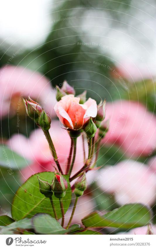 Rosenblüte Frühling Sommer Blühend Blume Blüte Blütenknospen Natur Außenaufnahme Tag rosa grün Blatt Glück Rosenstock