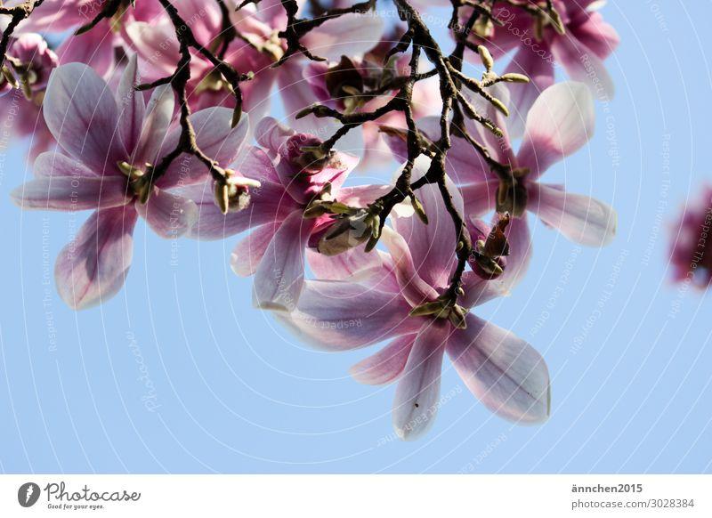 Magnolienblüte Magnoliengewächse rosa hell-blau Natur Blüte Blühend Blume Frühling Himmel Sonne Sonnenstrahlen Glück Fröhlichkeit Baum Außenaufnahme Zweig
