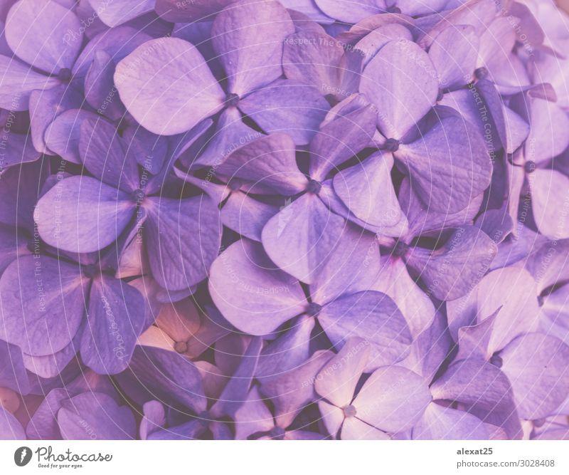 Violetter floraler Hintergrund Design schön Sommer Tapete Hochzeit Natur Pflanze Blume Blüte Liebe frisch natürlich weich blau Romantik Farbe Beautyfotografie