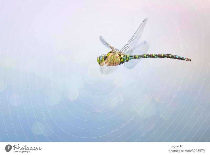 blaugrüne Mosaikjungfer Natur Sommer Tier Herbst gelb Umwelt Frühling Küste Garten See braun Park Wellen Luft Wildtier