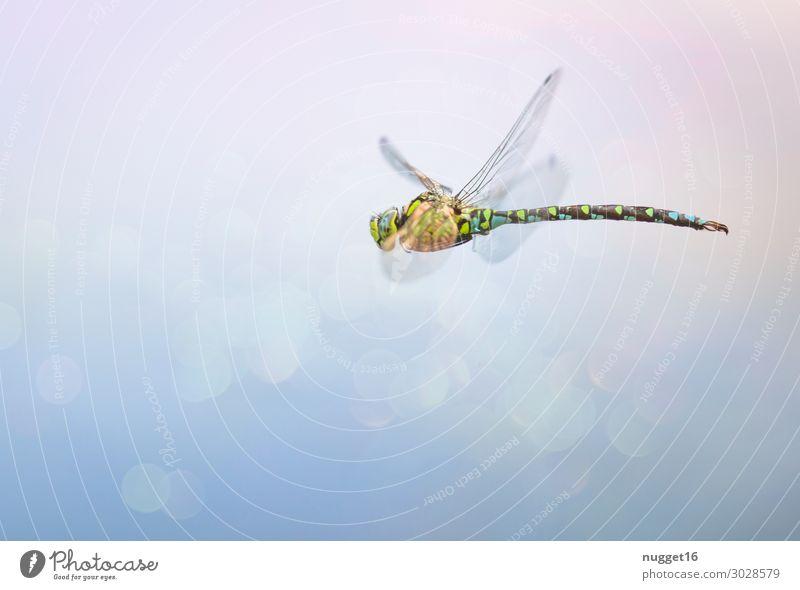 blaugrüne Mosaikjungfer Umwelt Natur Tier Luft Sonnenlicht Frühling Sommer Herbst Klima Schönes Wetter Garten Park Wellen Küste Seeufer Flussufer Moor Sumpf