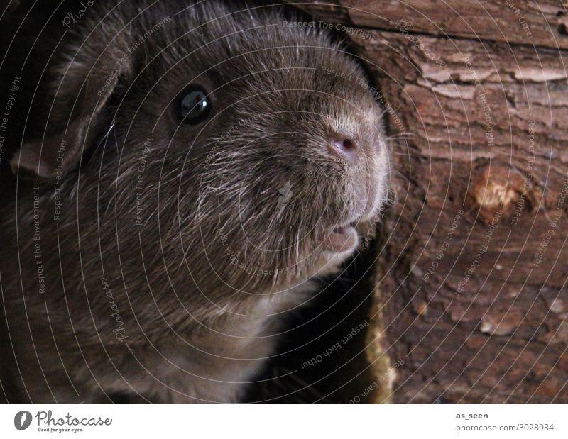 Frollein Pepper schaut, was der Tag so bringt Tier Tiergesicht Fell Zoo Streichelzoo Meerschweinchen Schnauze Auge 1 Blick authentisch frech lustig niedlich