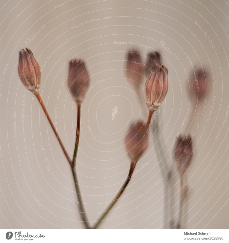 Trockene Knospen Natur Pflanze Umwelt braun grau einfach trocken Blütenknospen vertrocknet