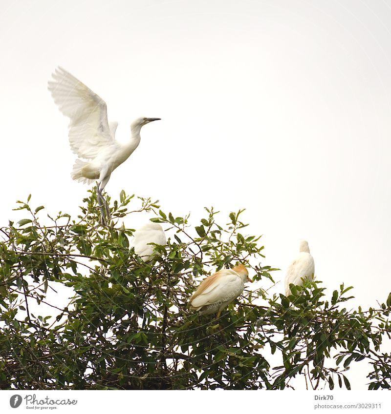 Startender Seidenreiher: Launch Sequence I Umwelt Natur Tier Sommer Baum Baumkrone Park Wald Spanien Kantabrien Wildtier Vogel Flügel 4 Tiergruppe fliegen