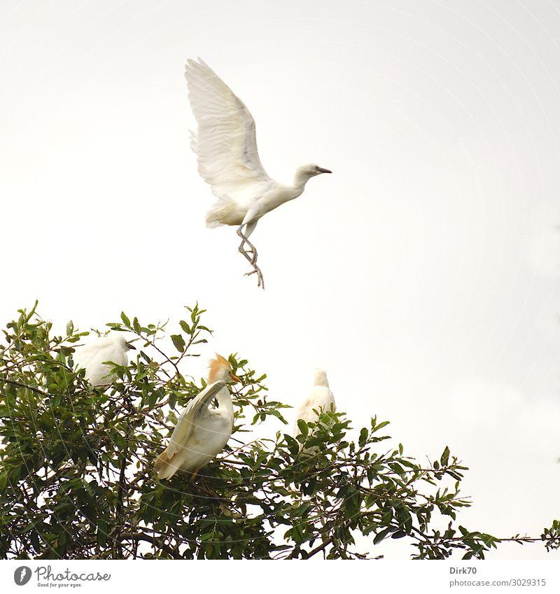 Startender Seidenreiher: Launch Sequence IV Umwelt Natur Wolken Sommer Baum Baumkrone Park Wald Spanien Kantabrien Tier Wildtier Vogel Flügel Reiher Brutkolonie