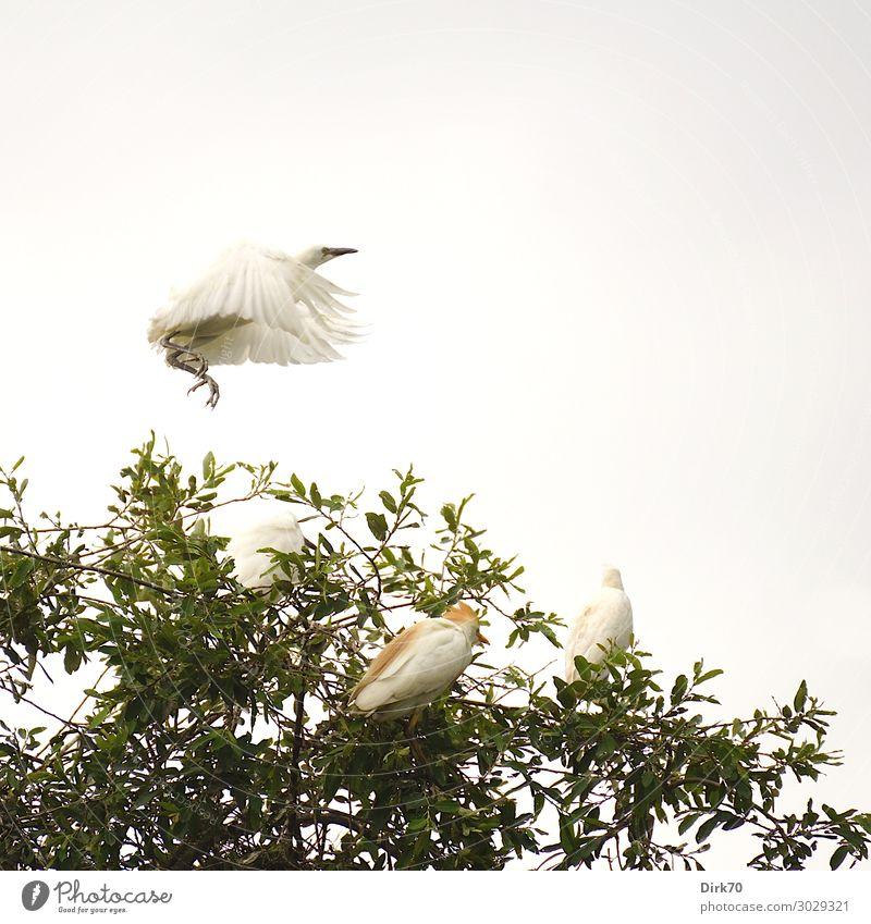 Startender Seidenreiher: Launch Sequence II Umwelt Natur Tier Wolken Sommer Baum Baumkrone Park Wald Kantabrien Spanien Wildtier Vogel Flügel Brutkolonie Reiher