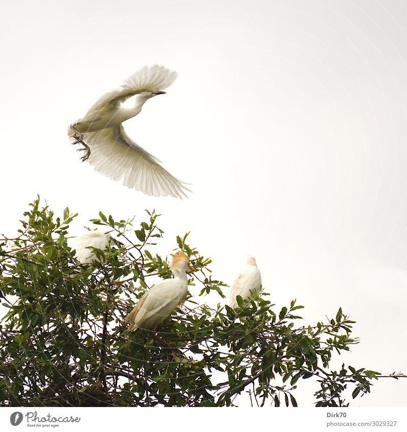 Startender Seidenreiher: Launch Sequence III Umwelt Natur Tier Sommer Baum Baumkrone Blatt Park Wald Wildtier Vogel Flügel Reiher 4 Tiergruppe fliegen