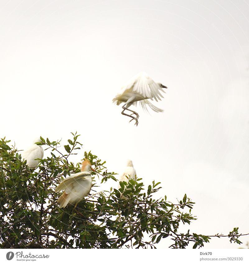 Startender Seidenreiher:Launch Sequence V Umwelt Tier Sommer Baum Baumkrone Park Wald Santillana del Mar Spanien Kantabrien Wildtier Vogel Reiher Brutkolonie