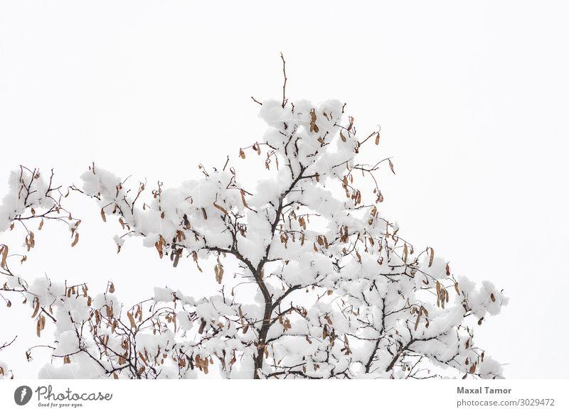Akazienzweig mit Schnee im Winter Leben Umwelt Natur Pflanze Wetter Schneefall Baum Park Wald Coolness frisch hell weiß Hintergrund Niederlassungen kalt Entwurf