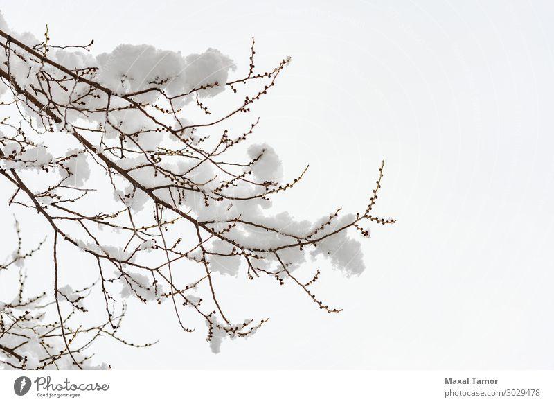 Ulmenast mit Schnee im Winter Leben Umwelt Natur Pflanze Himmel Wetter Schneefall Baum Park Wald Coolness frisch hell weiß Hintergrund Niederlassungen
