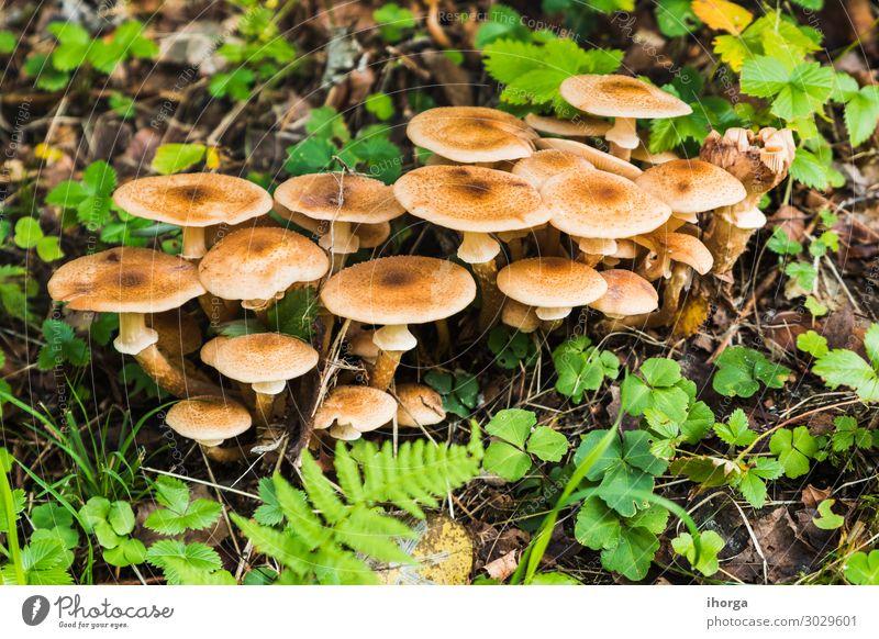 Eine Gruppe von Pilzen im Wald schön Menschengruppe Natur Pflanze Herbst Gras Moos Blatt Wachstum frisch natürlich wild braun grün weiß Farbe Beautyfotografie