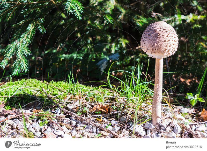 Eine Gruppe von Pilzen im Wald Wachstum niemand Herbst Hintergrund schön Schönheit braun schließen Nahaufnahme Kolonie Farbe Detailaufnahme frisch Frische
