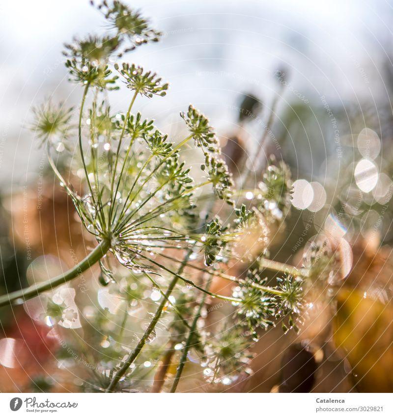 Funkeln Natur Pflanze Wassertropfen Himmel Sommer Regen Blüte Dill Dillblüten Mohnkapsel Garten Blühend schön nass gelb grau grün orange Stimmung Fröhlichkeit