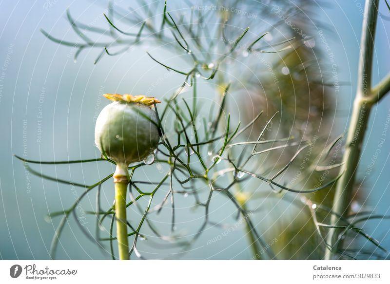 Heute regnet es Natur Pflanze Wassertropfen Sommer schlechtes Wetter Regen Blatt Nutzpflanze Wildpflanze Mohnkapsel Dill Garten Wachstum nass natürlich braun