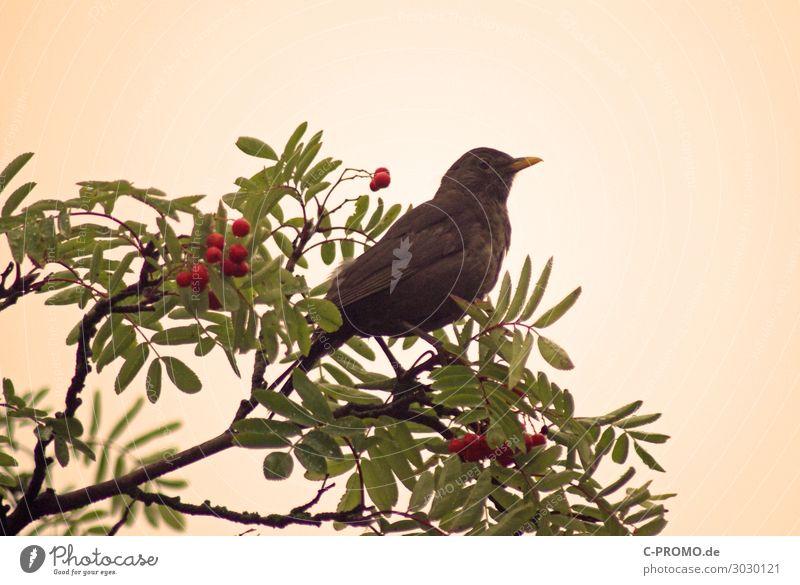 Amselrevier Baum Tier Wildtier Vogel 1 beobachten retro Beeren Farbfoto Außenaufnahme Textfreiraum rechts Morgendämmerung Unschärfe Tierporträt