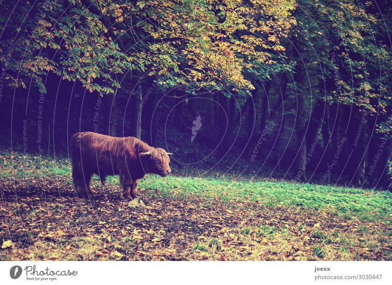 Rind mit langhaarigem braunen Fell und Hörnern auf Wiese im gebinnenden Herbst Natur Wald Nutztier Tier stehen warten authentisch außergewöhnlich frei groß gelb