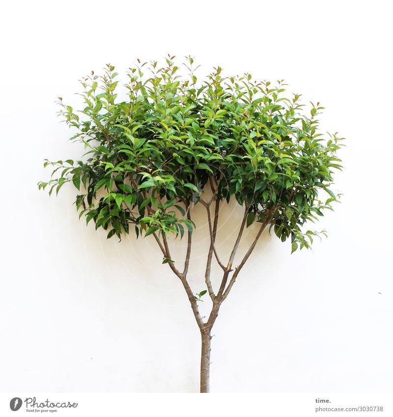 Pubertät Baum Blatt Grünpflanze Mauer Wand Wachstum Freundlichkeit Fröhlichkeit frisch grün weiß Freude Lebensfreude Vorfreude Begeisterung Euphorie