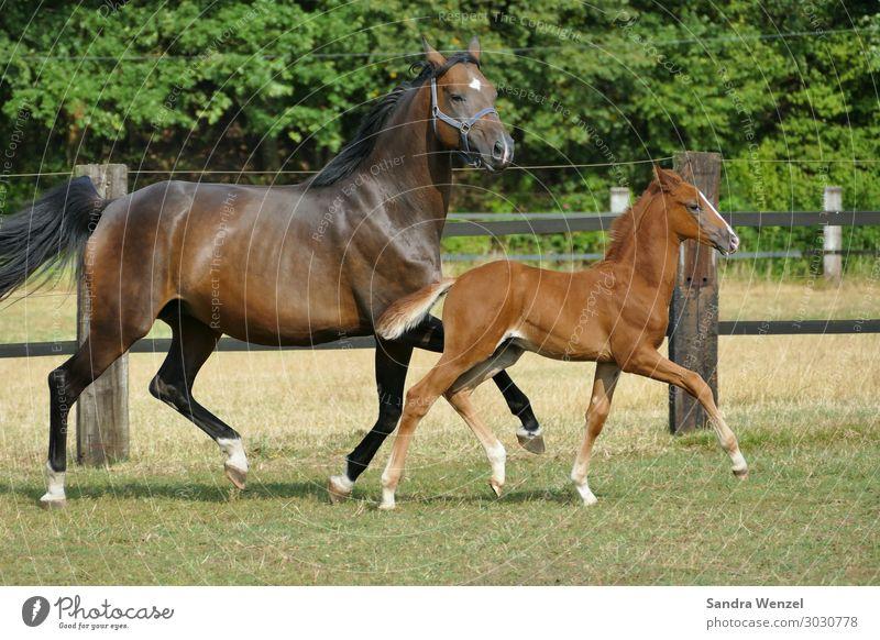 Stute min Fohlen Tier Pferd 2 Gefühle Stimmung Leben Farbfoto Tag Tierporträt Ganzkörperaufnahme Blick in die Kamera