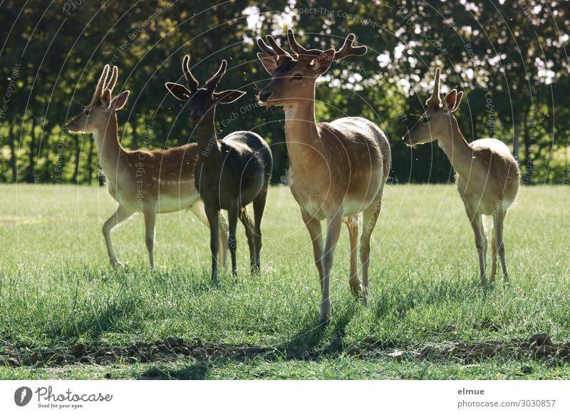 Damwild Umwelt Natur Sommer Wiese Wildtier Dama dama Horn Bock Pinsel Ohr Fell 4 Tier Tiergruppe beobachten stehen ästhetisch sportlich Neugier Vertrauen